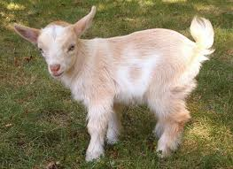 File:Dwarf Goat.jpg