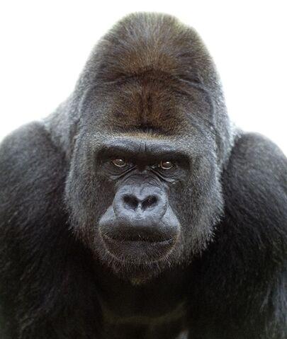 File:Gorilla Head.jpg
