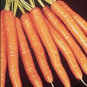 Thumb 180 plant daucus carota ssp sativus amsterdam sweetheart 1 30