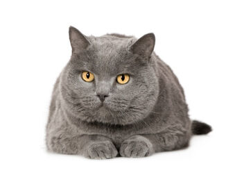 File:Russian blue.jpg