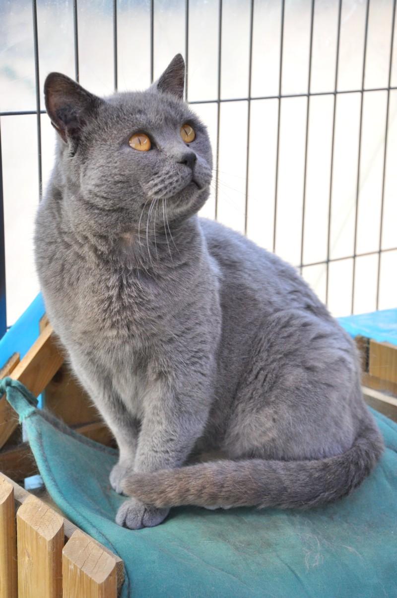 Chartreux | Cats Wiki | FANDOM powered by Wikia