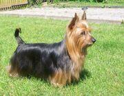 Australian-Silky-Terrier-Alana