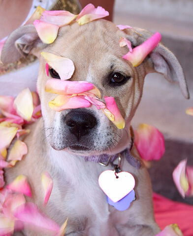 File:Free Sugar Baby Puppy Dog and Pink Rose Petals Creative Commons.jpg