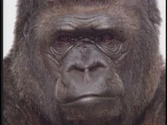 File:Koko the Gorilla.jpg