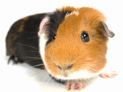 File:Guinea-pig-1.jpg