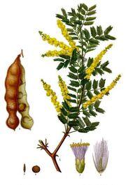 Acacia senegal - Köhler–s Medizinal-Pflanzen-004