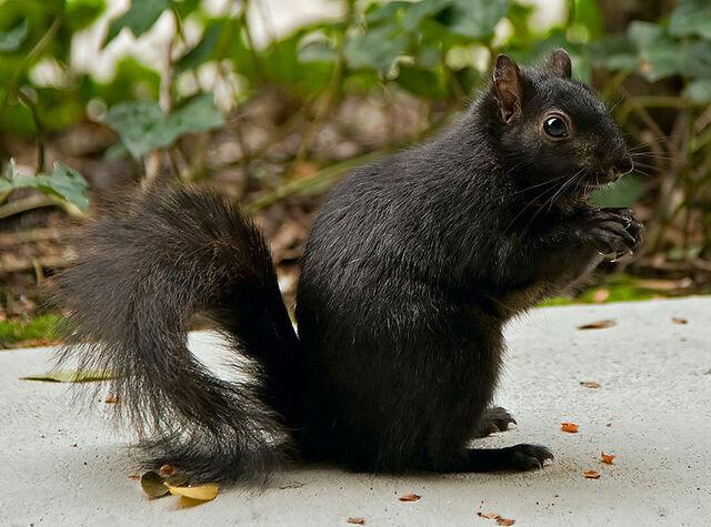 File:800px-Black squirrel in Santa Clara CA.jpg