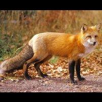 File:Foxtreeclan 5289396.jpg