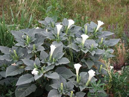 File:Jimsonweed1.jpg