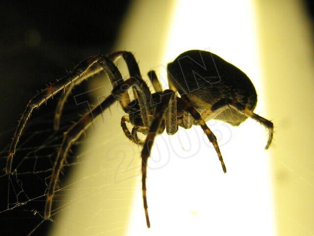 File:Ma spider1a tsan.JPG