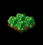 Crop-Lettuce