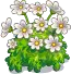 Harvestable-Daisy