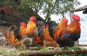 Welsummer roosters