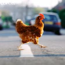 File:Chicken crossing road.jpg