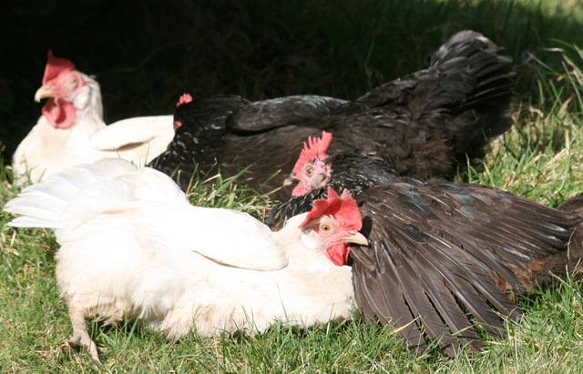 File:Hens sunbathing.jpg