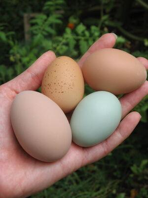 Hand holding 4 eggs
