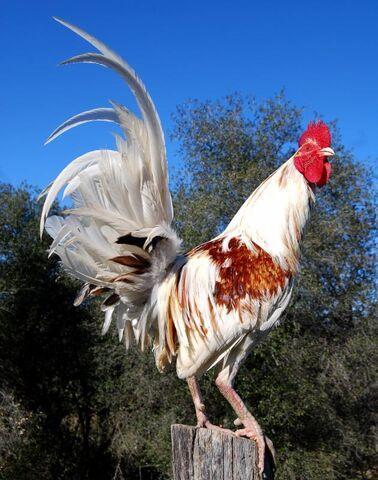 File:White pyle miner rooster.JPG