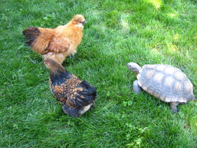Silkie chickens with tortoise