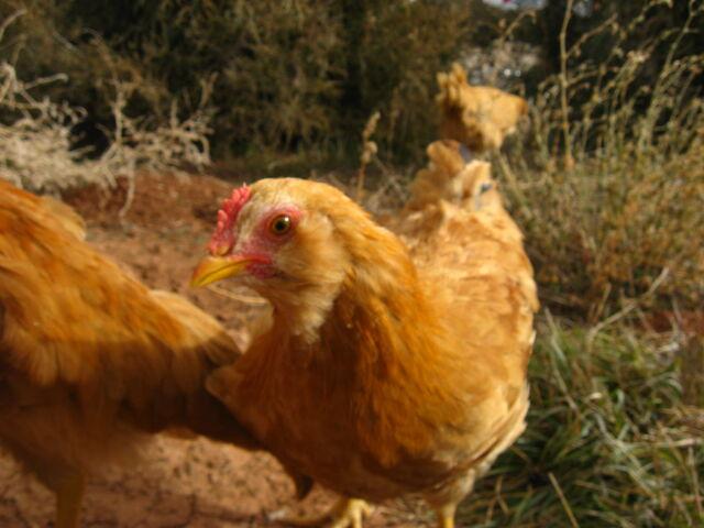 File:Buff easter egger chick.JPG