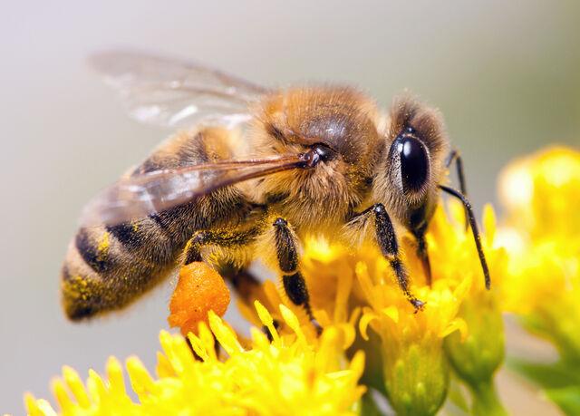 File:Honeybees.jpg