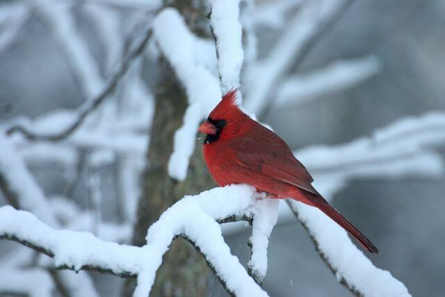 File:Cardinal in snow.jpg