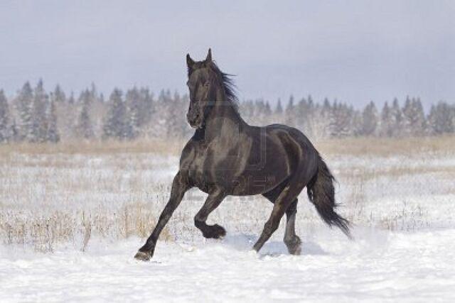 File:8578677-black-horse.jpg