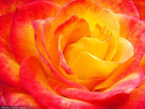 Dragon-rose