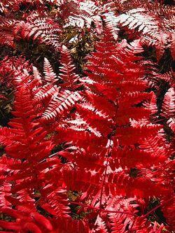 Red-fern-2