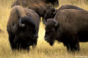 Bison-pair