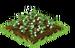 Mistletoe Crop Seedling
