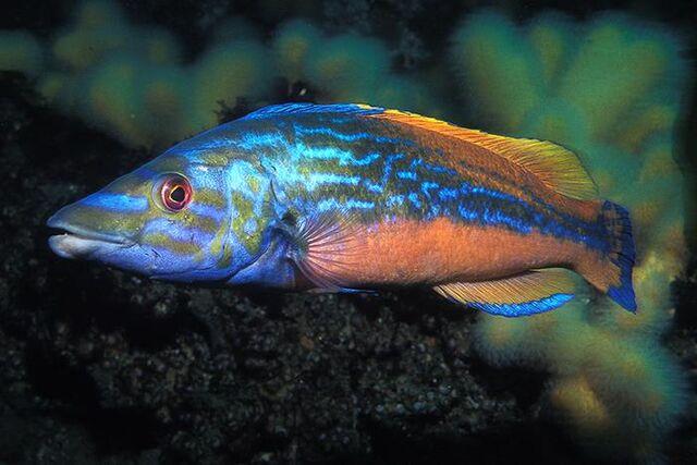 File:Aquatic chordate.jpg