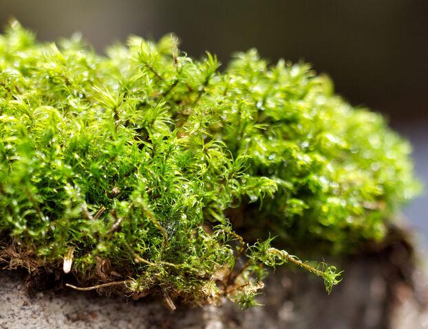 File:Moss.jpg