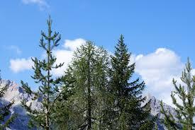File:Conifer2.png