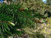 File:Conifer.jpg