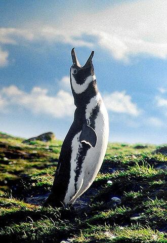 File:Magellanic Penguin, Patagonia.jpg
