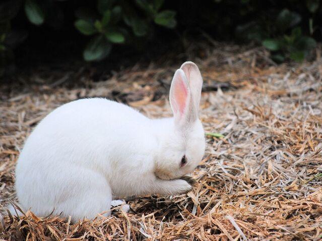 File:White-rabbit-oregon 56402 990x742.jpg