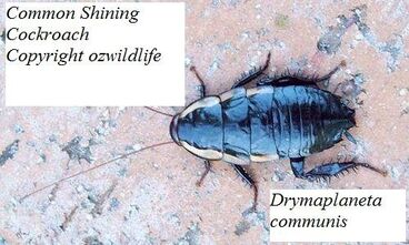 Common shining cockroach