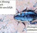 Common Shining cockroach