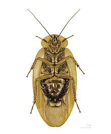 File:220px-Blaberus giganteus MHNT ventre.jpg