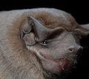 Murciélago mastín común