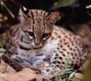 Leopardo tigre