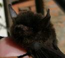 Murciélago negro pequeño