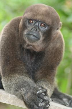 Mono lanudo colombiano | Wiki Colombia | FANDOM powered by