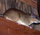 Rata espinosa Arboreal