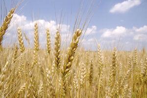 Wheat-748