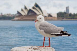 1023881 seagull in sydney