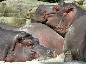 551221 hippopotamus