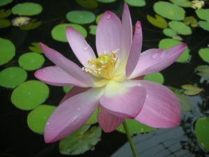 1024976 lotus