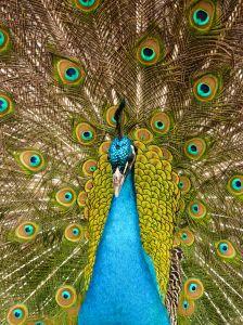 1044796 peacock 3