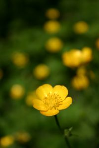 File:329444 buttercup vertical.jpg